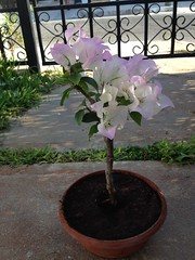 pre bonsai bougainvillea (bett gaffe) Tags: bougainvillea pre bonsai