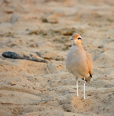 Cream-colored Courser (Rajiv Lather) Tags: camera india bird nature birds fauna canon lens photography photo sand focus desert image wildlife indian birding sharp clear telephoto camouflage birdwatching birder sanddunes jaisalmer thar rajasthan avifauna birdwatcher charadriiformes cursoriuscursor creamcoloredcourser glareolidae coursers