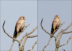 Common Kestrel (Falco tinnunculus) (Ger Bosma) Tags: bird dutch europe european thenetherlands falcotinnunculus torenvalk commonkestrel turmfalke img215069