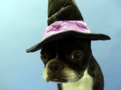 "Oct 07 2011 [Day 342] ""Test Shot New Witchs Hat"" (James_Seattle) Tags: dog halloween boston puppy jack bostonterrier costume october witchhat sony cybershot 365 k9 year1 jackjack dscf717 2011 sonycybershotdscf717 jamesseattle"