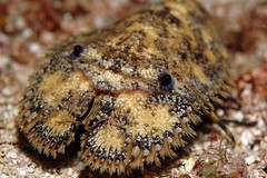 slipper lobster (tastes like doggerel) Tags: bug slipperlobster decapod