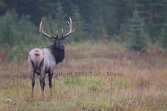 Elk Cervus elaphus nelsoni (yahsemtough) Tags: park copyright canada male rain national alberta banff todd elk antler canadensis cervus mintz elaphus nelsoni