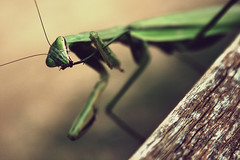 proper foot care (roujo) Tags: wood macro green texture mantis insect foot dof praying clean preying highqualityanimals