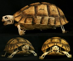 Squelette de Tortue Grec / Greek Tortoise Skeleton (Testudo graeca) (JC-Osteo) Tags: skeleton skull turtle reptile tortoise collection bones bone tortue testudo skelett squelette testudinidae testudograeca osteology chelonien ostologie jctheil tortuegrec spurthightedtortoise
