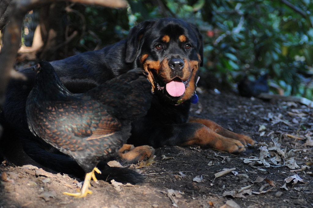 Betty Cakes, the Rottweiler and Mother Hen-6