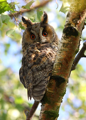 Long-eared owl, Ransuil (asio otus) (Pepijn Hof) Tags: colour bird eye nature canon natuur explore owl vogel berk longearedowl asio otus uil 300mmf4 ransuil asiootus 40d