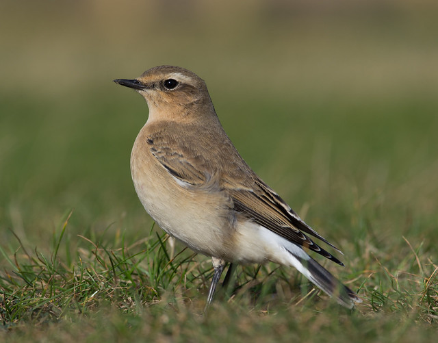 wheatear afternoon 300mm 4