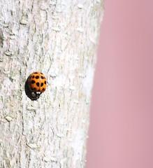 Pink Lady (Photography_Mania) Tags: orange black macro lady insect fly bugs spots beatle ladybugs ladybirds nurseryrhyme