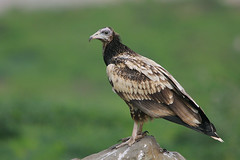 Egyptian Vulture (Neophron percnopterus) (sharadagrawal931978) Tags: india bird nature birds canon eos wildlife sigma august os apo raptor egyptian vulture udaipur dg critique sharad neophron percnopterus agrawal 2011 accipitridae hsm 40d scavengar f563 udaipurrajasthan 150500mm
