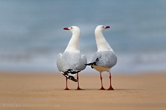 Not in talking terms :-) (The Eternity Photography) Tags: ocean bird beach water birds canon seagull gull au australia aves anger victoria angry groundlevel greatoceanroad 70200 santanu laridae charadriiformes silvergull canon70200 gibsonssteps 2011 featheryfriday greataustralianbight bassstraight canonef70200mmf28lisusm 60d canon60d santanubanik canoneos60d chroicocephalusnovaehollandiae santanubanik        wwwfrozenforeternitycom theeternityphotography notintalkingterms