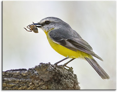 Eastern Yellow Robin with dinner for the children (aaardvaark) Tags: australia nsw hernani ebor guyfawkesrivernationalpark easternyellowrobin eopsaltriaaustralis guyfawkesriver slbfeeding lucifersthumb 201110111d3162easternyellowrobin21x17y