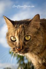 Candy tardeando (AniSuperNova83) Tags: animal ojos gato bonita gata felino sight mirada medellin tarde canela killy felina candelera supernova83 anamariarincon anisupernova canelathecat