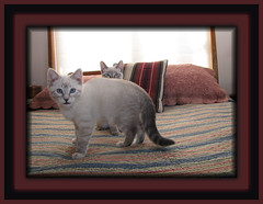 Seeing double....I see you Lonnie... (lonniejean3484 Howdy) Tags: cats kittens