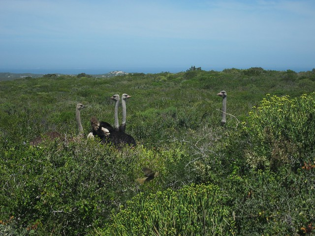 Peeking Ostriches in West Coast National Park