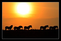 Exmoor Ponies at sunset..... (Levels Nature) Tags: uk sunset england horses horse sun nature animal animals silhouette silhouettes somerset pony ponies moorland quantocks quantockhills exmoorpony topshots abigfave exmoorponies natureselegant