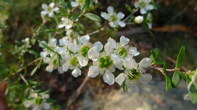 Leptospermum polygalifolium flowers