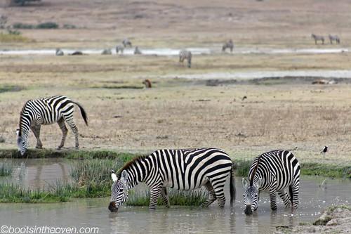 Water Zebras