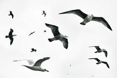 Birds of Brighton (gagilas) Tags: birds seabirds