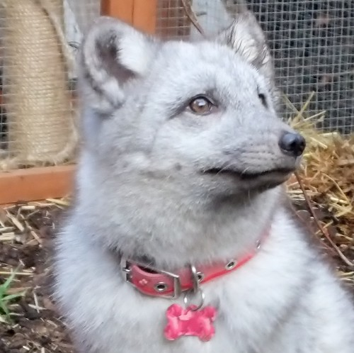 Sapphire the arctic fox in her run