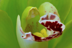 Orchid I (Pixel Harmonies) Tags: red orchid flower macro green nature yellow closeup photoshop spring nikon blossom petal