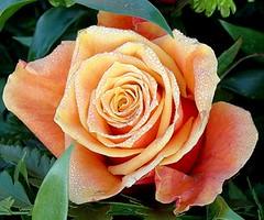 Ra o poranku (maria.pasieka1) Tags: rosa katowice krople r patki excellentsflowers natureselegantshots mimamorflowers mariapasieka pasiekamarika kwiatkrzew