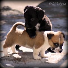 Flynn y Moncho [Explore 7-11-11] (E.M.Lpez) Tags: dog naturaleza nature animal noviembre perro cachorro granada otoo perros animales cachorros jaen juego pelo 2011 montefro alcallareal