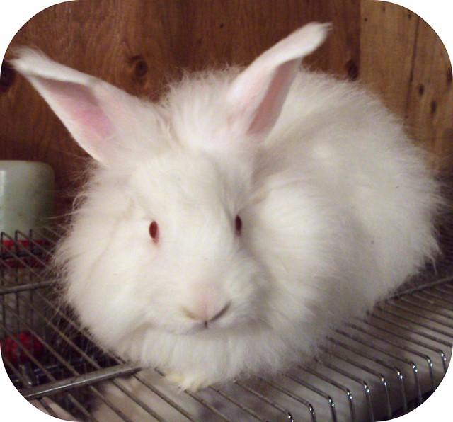 Elle est belle cette lapine blanche avec le poil touffu