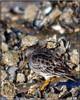Purple sandpiper (in winter plumage) (Shaun's Photographic World.) Tags: uk birds shaund