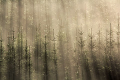 BREAKING OUT (Steve Boote..) Tags: trees light mist scotland highlands manfrotto glengarry lochgarry sigma18200 steveboote canoneos550d