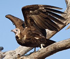 Hooded vulture (mytmoss) Tags: bird southafrica raptor vulture