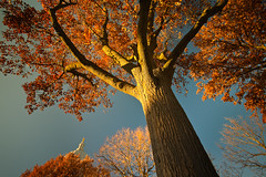Fall Above (Loren Zemlicka) Tags: november autumn light shadow wallpaper sky orange usa color tree fall nature leaves wisconsin landscape photography photo afternoon image branches capital perspective picture bluesky capitol madison dome trunk northamerica canopy canonef1740mmf4lusm goldenhour capitolsquare northamerican isthmus sunight 2011 canoneos5d danecounty portalwisconsinorgselected lorenzemlicka portalwisconsinorg112811