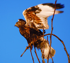 Ready for Take-off (Explored) (TOTORORO.RORO) Tags: park sunset canada bird nature lens mirror reflex bc hawk sony richmond translucent alpha 500mm f8 slt roughleggedhawk buteolagopus ionabeach a55 sal500f80