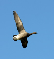 Brent cross... (SteveJM2009) Tags: uk november autumn light sky sun colour detail flying wings flight lagoon hampshire goose brent underside below markings brant plumage stevemaskell keyhaven hants 2011 brantabernicia