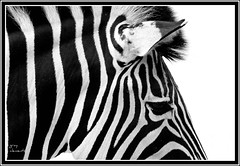 black and white  or white and black (gray clements) Tags: blackandwhite white black cornwall stripe newquay zebra striped eticket zooanimals newquaycornwall flickraward blackandwhitestriped flickraward5 mygearandme mygearandmepremium mygearandmebronze flickrawardgallery blinkagain grayclements