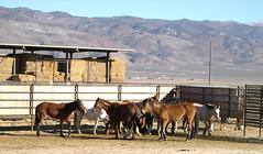Palomino Valley National Wild Horse and Burro Center (BLM Nevada) Tags: holding nevada facility burros wildhorses adoption gather palominovalley carsoncitydistrictoffice nevadastateoffice blmpalominovalley