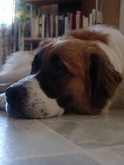 Lounging (tikicat90) Tags: puppy browndog cutedog stbernard greatpyrenees diggingdog