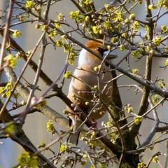 ltlak! / I see you! (debreczeniemoke) Tags: plant flower tree bird yellow garden spring fa tavasz virg kert cornusmas nvny srga hawfinch coccothraustescoccothraustes madr europeancornel meggyvg hsossom canonpowershotsx20is