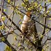 látlak! / I see you! (debreczeniemoke) Tags: plant flower tree bird yellow garden spring fa tavasz virág kert cornusmas növény sárga hawfinch coccothraustescoccothraustes madár europeancornel meggyvágó húsossom canonpowershotsx20is