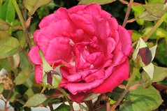 玫瑰品種:蜜妮