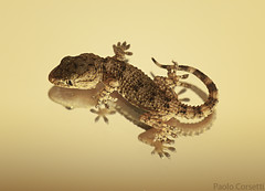 Geco (Corsaro078) Tags: macro mirror lizard specchio geco d90 sigma150macro