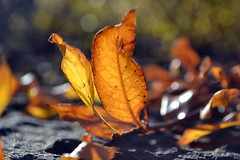 Autumn leaf (Ester Sveinbjarnardottir) Tags: autumn color nature beauty leaves yellow closeup forest outdoors photography iceland leaf day image growth simplicity environment birch haust in gulur lauf vir utandyra estersv nopeopleextremecloseup 10oktober2011