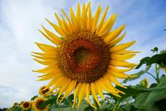 (GLIDEi7) Tags: blue summer flower yellow japan tokyo sony bluesky yellowflower      nex  kiyose      nex5 e1855mm e1855mmf3556  kiyosesunflowerfestival