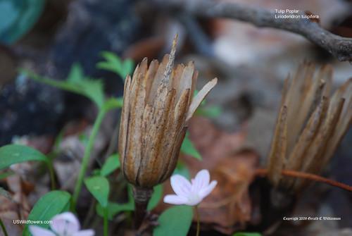 Tulip Poplar, Yellow Poplar, Tuliptree, Tulip Magnolia - Liriodendron tulipifera