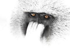 The Mask of Zoro (Baboon edition) (awadi) Tags: monkey high key kenya safari highkey baboon 70200 f28 teleconverter amboseli 70200mm awadi 17teleconverter iawadi