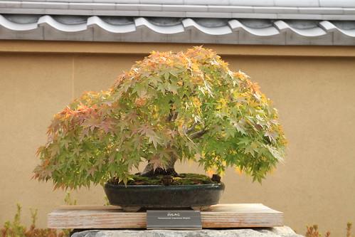 山もみじ Yamamomiji (Japanese Maple) - 盆栽美術館 - bonsai museum