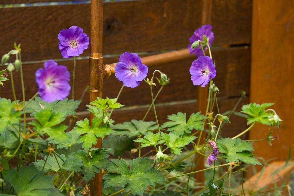 geranium rozanne  661