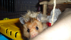 Naughty Boy! (jellybaby86) Tags: cute naughty fluffy hamster satin syrian longhaired dandydust