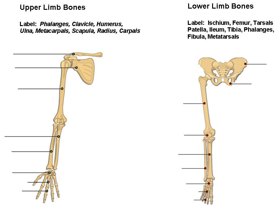 Upper and Lower Limbs
