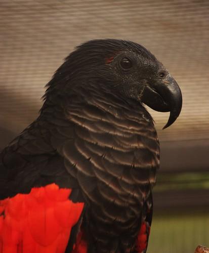 Pesquet Parrot For Sale Pesquet 39 s Parrot Psittrichas