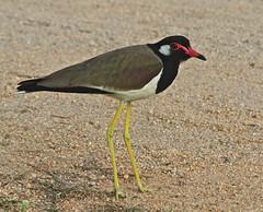 IMG_8669 red wattled lapwing (Troup1) Tags: bird nature thailand lapwing redwattledlapwing